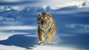 303013__tiger-in-the-snow_p